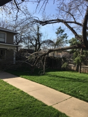 Wind damage to this tree for service in Tulsa.