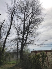 Large hackberry tree removal in Tulsa with a power line