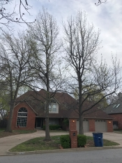 Double sweet gum tree removal service in South Tulsa.