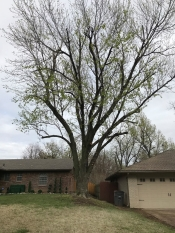 Medium tree trimming Tulsa - tree services